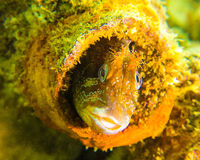 Blennee Dorset do blenny do tompot de Swanage Imagens de Stock