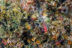 Blennies соединенные синью, Pta Vicente Roca, остров Isabela, Галапагос Стоковое Фото