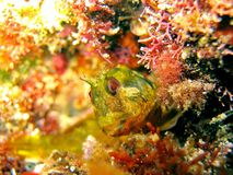 Blennioidei mediterrâneo imagens de stock royalty free