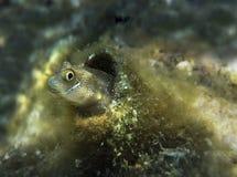Blenny Ланс малая рыба коралловых рифов Стоковая Фотография RF