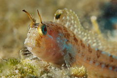 Blenny 2 Stock Photography