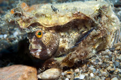 Blenny Stock Foto's
