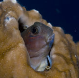 Blenny Royalty Free Stock Image