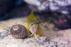 Blenny Stockfoto