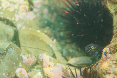 Blenny Stockbild