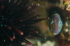 Blenny Stockfotos