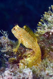 Blenny Foto de Stock Royalty Free