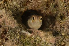 Blenny (Alloblennius pictus) Royalty Free Stock Photos
