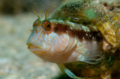 Blenny in a Bottle 2 Royalty Free Stock Photo