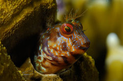 Blenny close-up. Close-up of a seaweed blenny in Venezuela stock photos