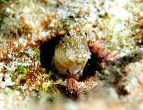 Blenny Cook Islands Royalty Free Stock Photos