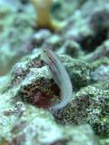Blenny on coral Stock Photo