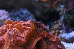 Blenny dans le réservoir d'aquarium de récif coralien Photo stock