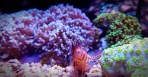 Blenny dans le réservoir d'aquarium de récif coralien Photographie stock