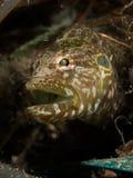 Blenny de la anguila de la alfombra - subducens de Congrogadus Imagen de archivo libre de regalías