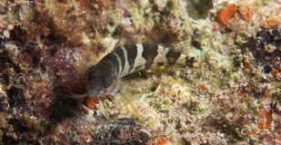 Blenny de selle sur un récif coralien. Photo stock