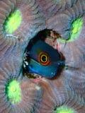 Blenny del punto della coda, Raja Ampat, Indonesia immagini stock libere da diritti