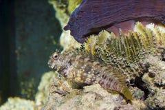 Blenny della falciatrice in acquario fotografia stock libera da diritti