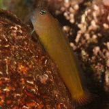 Blenny (Ecsenius frontalis) Stockfoto
