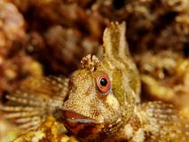 Blenny Face. A face of an blenny fish underwater royalty free stock images
