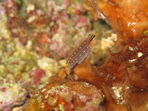 Blenny-Fische Stockbild