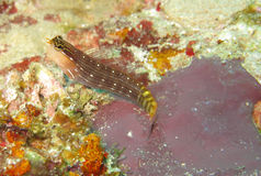 Blenny Fish. Resting on a coral royalty free stock photos