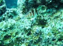 Blenny Fish. (Blennius) seen diving off the coast of Okinawa, Japan royalty free stock photo