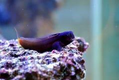 Blenny fish Royalty Free Stock Photos