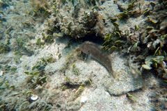 Blenny fish sitting on the bottom ocean stock image