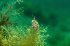 Blenny fish Royalty Free Stock Image