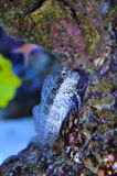 Blenny fish. Stone seaweed in water Stock Image