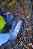 Blenny fish Stock Image