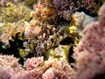 Blenny head. Close-up view of Blenny fish, marine reserve of Cerbere Banyuls stock images