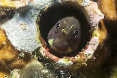 Blenny in a hole. Fish Blenny hiding in a hole on the bottom of the sea Stock Photography