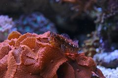 Blenny im Korallenriffaquariumbehälter Stockfoto