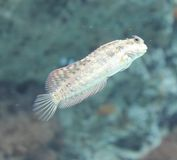 Blenny ryba Obraz Stock