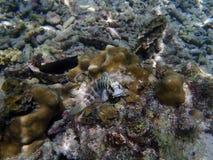 Blenny (Salarias-fasciatus) Lizenzfreie Stockfotografie