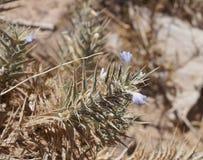 Blepharis-ciliaris Blüte Lizenzfreie Stockbilder
