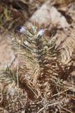 Blepharis-ciliaris Blüte Lizenzfreies Stockbild