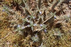 Blepharis-ciliaris Blumen Lizenzfreie Stockfotografie