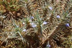 Blepharis-ciliaris Blumen Lizenzfreie Stockfotos