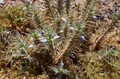 Blepharis-ciliaris Blumen Lizenzfreies Stockbild