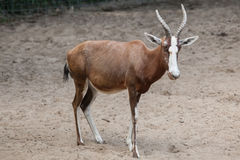Blesbock Damaliscus pygargus phillipsi. Stock Images