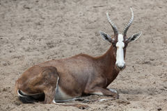 Blesbock Damaliscus pygargus phillipsi. Royalty Free Stock Photos