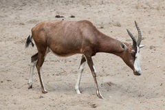 Blesbock Damaliscus pygargus phillipsi. Royalty Free Stock Photography