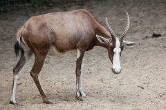 Blesbock & x28;Damaliscus pygargus phillipsi& x29;. Stock Photo