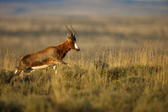 Blesbok. A Blesbok in the Mountain Zebra National Park Stock Images