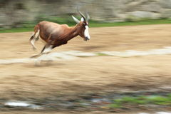 Blesbok Royalty Free Stock Image