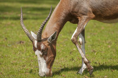 Blesbok Royalty Free Stock Photos