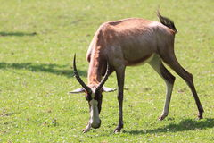 Blesbok Stock Photo